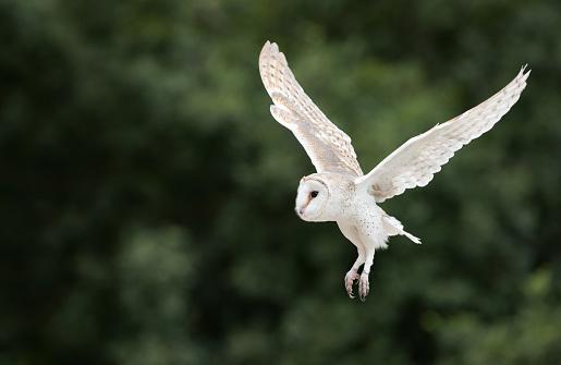 Animals Hunting「Barn Owl, Schleiereule (Tyto Alba) in flight」:スマホ壁紙(0)