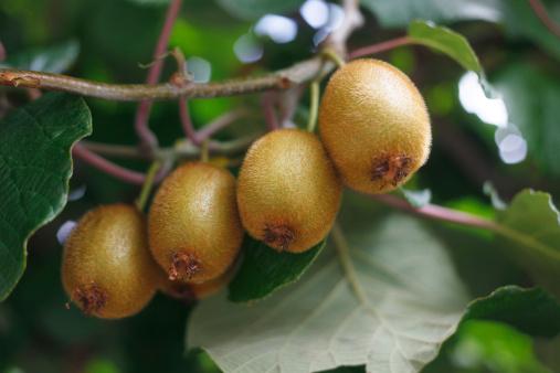 Kiwi「Italy, Close up of ripe kiwi fruits on twig」:スマホ壁紙(3)