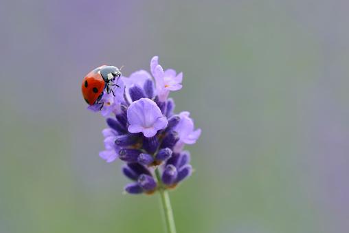 Ladybug「Seven-spotted ladybird on lavender blossom」:スマホ壁紙(7)