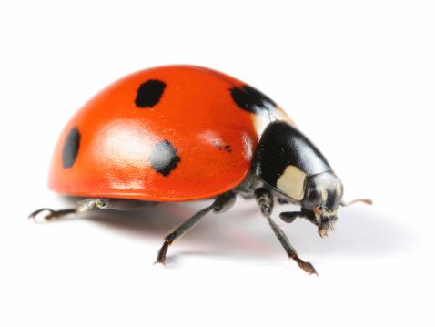 Beetle「Seven-Spotted Ladybug」:スマホ壁紙(5)