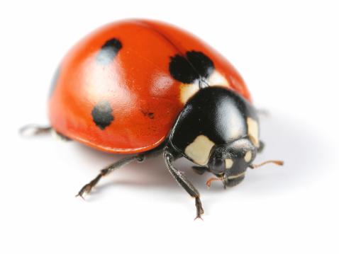 Beetle「Seven-Spotted Ladybug」:スマホ壁紙(18)