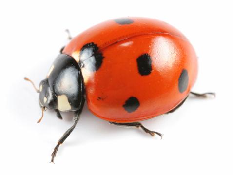 Beetle「Seven-Spotted Ladybug」:スマホ壁紙(7)