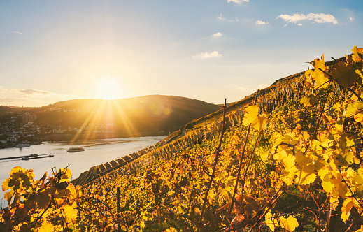Rhineland-Palatinate「Sundown in an autumnal vineyard beside the Rhine」:スマホ壁紙(1)