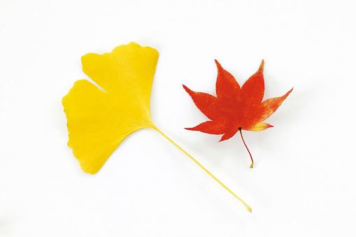 イチョウ「Leaves in autumn color, white background」:スマホ壁紙(18)