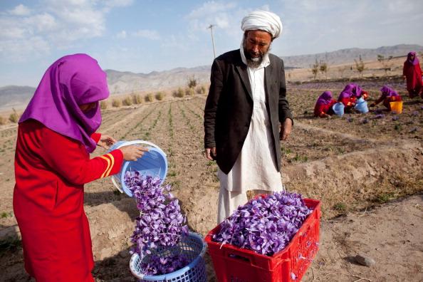 Saffron「Saffron Harvested in Herat」:写真・画像(9)[壁紙.com]