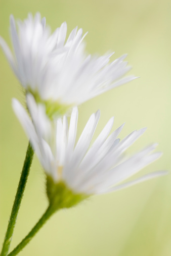 Shallow「Shallow Depth of Field on Two White Daisies, Green Background」:スマホ壁紙(16)