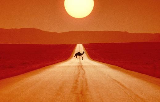 Walking「Camel crossing road.」:スマホ壁紙(1)