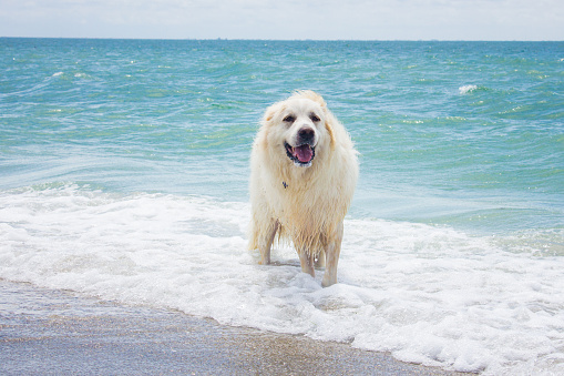 Shallow「Great Pyrenees dog standing in ocean, United States」:スマホ壁紙(10)