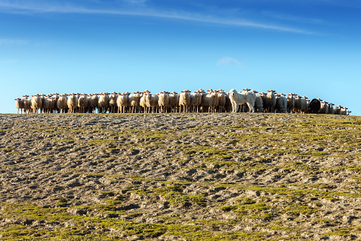 Ewe「Great Pyrenees Dog Herding Sheep in Tuscany, Italy」:スマホ壁紙(18)