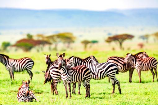 Stallion「Zebra herd at wild - resting and watching」:スマホ壁紙(4)