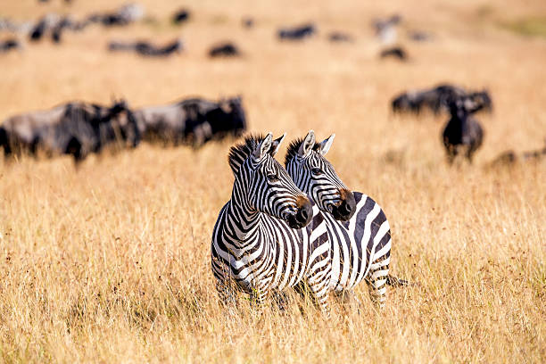 Zebra herd nad Wildebeests Grazing at Savannah:スマホ壁紙(壁紙.com)