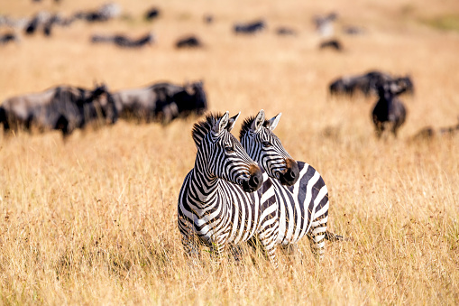 Antelope「Zebra herd nad Wildebeests Grazing at Savannah」:スマホ壁紙(0)