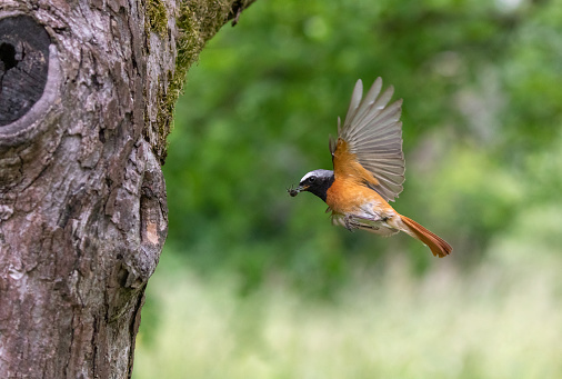 Bird「Male common redstart」:スマホ壁紙(6)