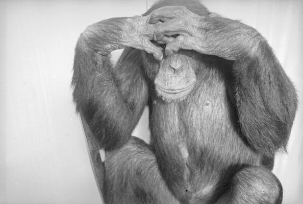 Looking「Shy Chimp」:写真・画像(10)[壁紙.com]