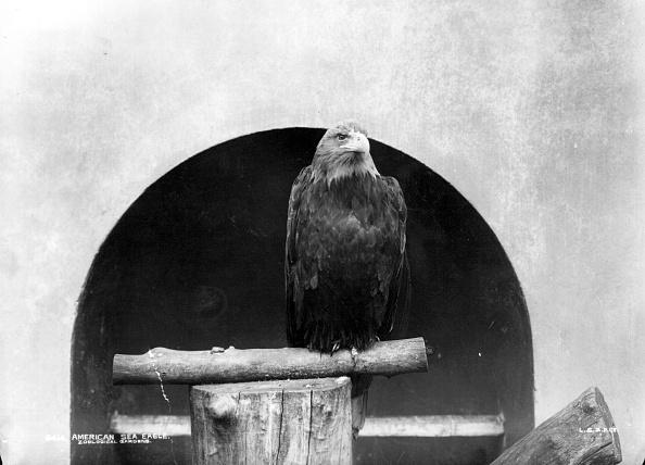 Perching「Majestic Eagle」:写真・画像(1)[壁紙.com]