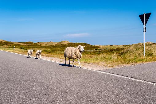 Ewe「Germany, Schleswig-Holstein, Sylt, Sheep walking on roadside」:スマホ壁紙(14)