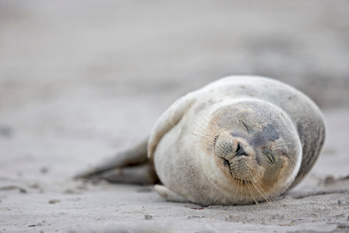 Animal Whisker「Germany, Schleswig-Holstein, Helgoland, Duene Island, harbour seal pup (Phoca vitulina) sleeping on the beach」:スマホ壁紙(9)