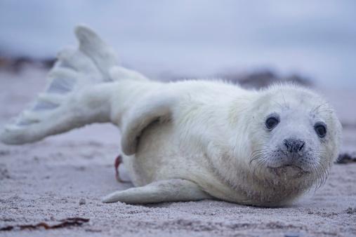 Animals Hunting「Germany, Schleswig-Holstein, Helgoland, Duene Island, grey seal pup (Halichoerus grypus) lying on the beach」:スマホ壁紙(7)