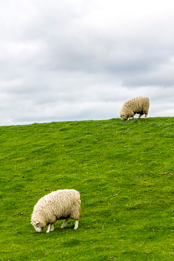 Equality「Germany, Schleswig-Holstein, Husum, sheep on dike」:スマホ壁紙(2)
