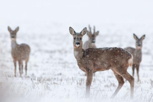 Snowdrift「Germany, Schleswig-Holstein, Roe deer in snow」:スマホ壁紙(18)