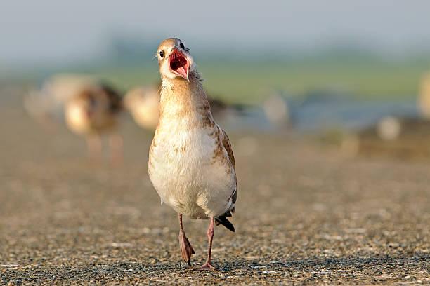 Germany, Schleswig-Holstein, Black-headed gull, Chroicocephalus ridibundus, young animal:スマホ壁紙(壁紙.com)