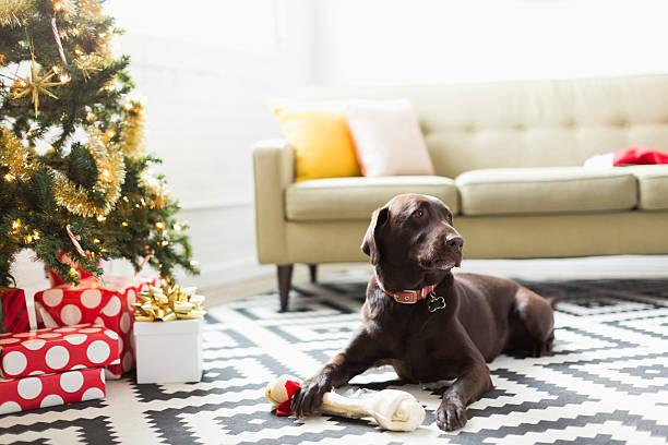Chocolate Labrador lying on carpet next to Christmas tree:スマホ壁紙(壁紙.com)