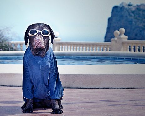 Domestic Animals「Chocolate Labrador in Swimming goggles at poolside」:スマホ壁紙(14)