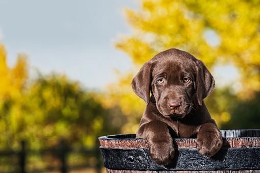 Females「Chocolate Labrador Puppy in a faux wooden barrel - 8 weeks old」:スマホ壁紙(4)