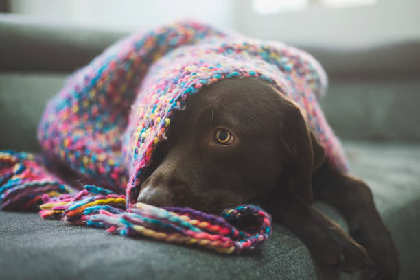 Chocolate Labrador covered by blanket:スマホ壁紙(壁紙.com)