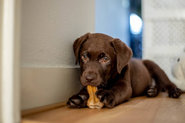 Chocolate labrador puppy lying and chewing a dog bone:スマホ壁紙(壁紙.com)