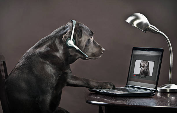 Chocolate labrador teleconferencing on laptop:スマホ壁紙(壁紙.com)