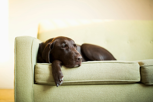 横たわる「Chocolate Labrador resting on sofa」:スマホ壁紙(3)