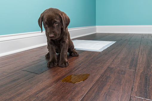 Misfortune「A Chocolate Labrador puppy sitting next to pee on wood floor - 8 weeks old」:スマホ壁紙(15)
