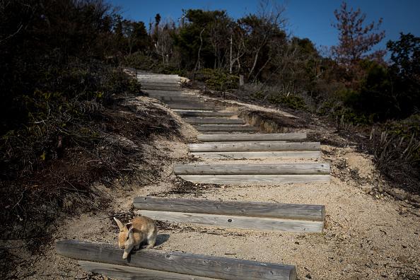 Footpath「Bunnies Attract Tourists To A Japanese Islet Okunoshima」:写真・画像(10)[壁紙.com]