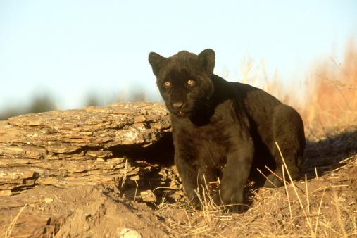 動物の赤ちゃん「black leopard, panthera pardus, asia」:スマホ壁紙(17)