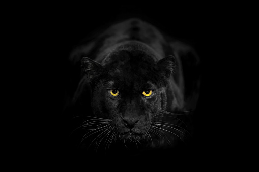 Animal Whisker「A Black Leopard In a Close-Up, Looking towards camera With Its Beautiful Eyes」:スマホ壁紙(17)