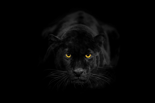 Panther「Black leopard looking to the camera angrily」:スマホ壁紙(17)
