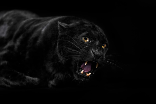 Animal Whisker「Black leopard with open mouth.」:スマホ壁紙(2)