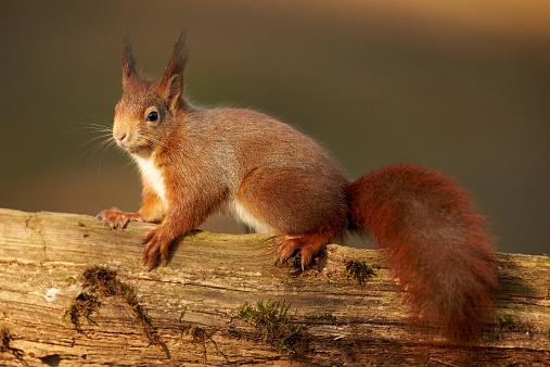 リス「A Eurasian Red Squirrel (Sciurus vulgaris)」:スマホ壁紙(16)
