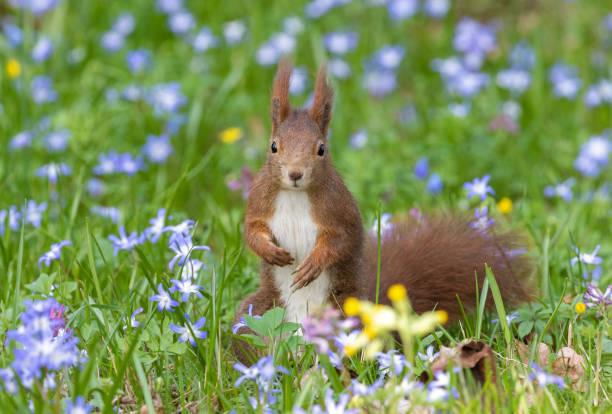 Eurasian red squirrel:スマホ壁紙(壁紙.com)