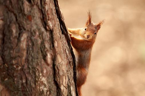 リス「A Eurasian Red Squirrel (Sciurus vulgaris)」:スマホ壁紙(5)