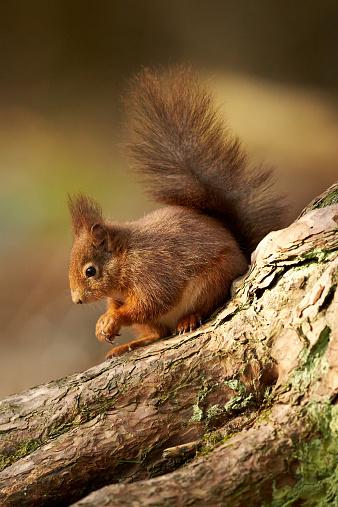リス「A Eurasian Red Squirrel (Sciurus vulgaris)」:スマホ壁紙(15)