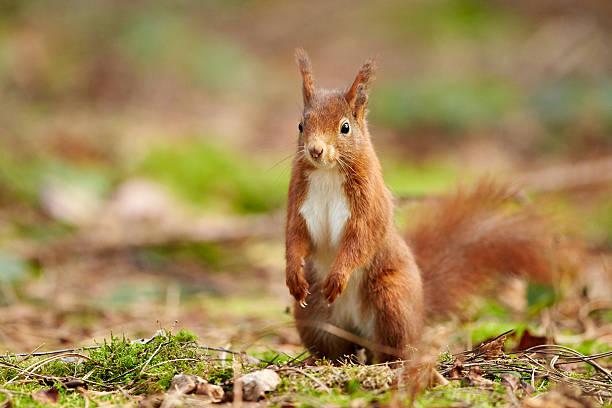 A Eurasian Red Squirrel (Sciurus vulgaris):スマホ壁紙(壁紙.com)