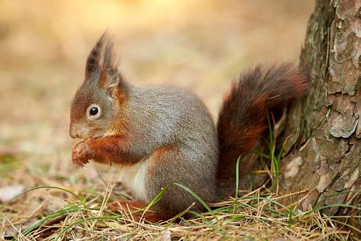 リス「A Eurasian Red Squirrel (Sciurus vulgaris)」:スマホ壁紙(17)