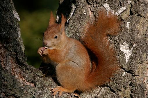 Squirrel「Eurasian Red Squirrel Eating Nut in Tree」:スマホ壁紙(4)