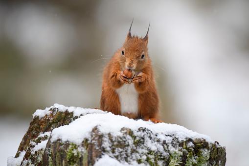Squirrel「Eurasian red squirrel eating hazelnut on snow-covered tree trunk」:スマホ壁紙(12)