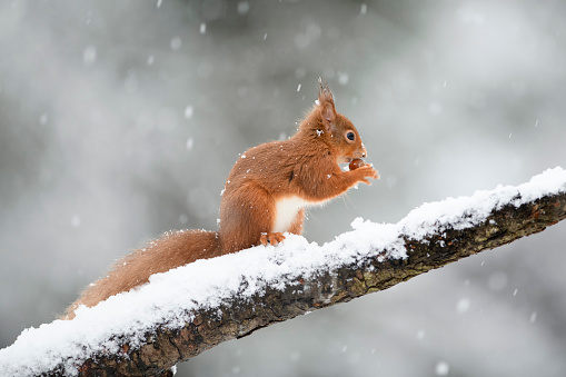 Squirrel「Eurasian red squirrel with hazelnut on snow-covered tree trunk」:スマホ壁紙(1)