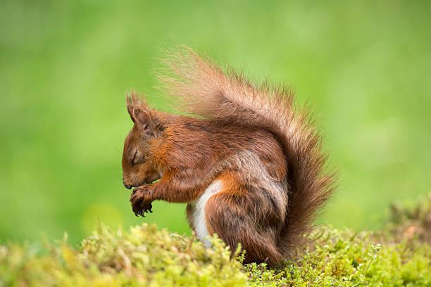 Eurasian red squirrel, Sciurus vulgaris:スマホ壁紙(壁紙.com)