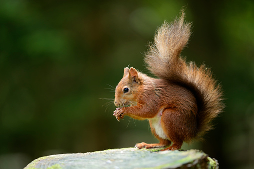 リス「Eurasian red squirrel, Sciurus vulgaris」:スマホ壁紙(4)