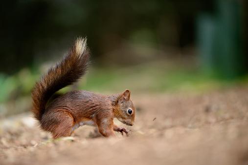 リス「Eurasian red squirrel, Sciurus vulgaris」:スマホ壁紙(7)